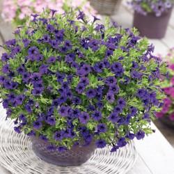 Petunia x hybrida Vivini...
