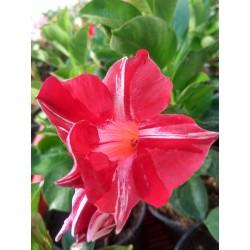 Sandawilla Sundaville Red...