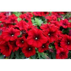 Petunia  Crazytunia Red Blues