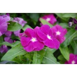 Catharanthus roseus Vinca...