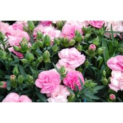 Goździk różowy Dianthus...
