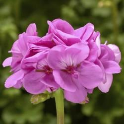 Pelargonia  Calliope...