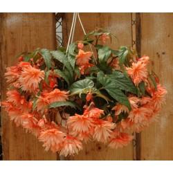 Begonia Belleconia ®...