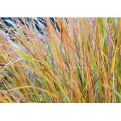 Trawy Trawa Ostnica...