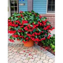 Begonia Dragon Wing Red