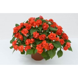 Impatiens walleriana...