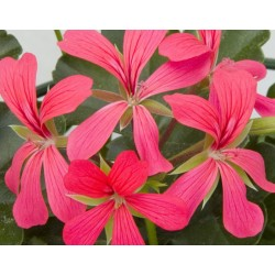 Pelargonia Balcon Shocking