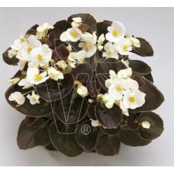 Begonia semperlflorens...