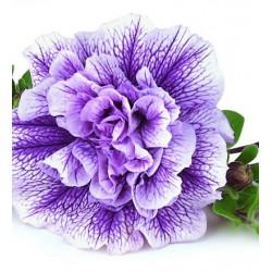 Petunia pełna  Lavender...
