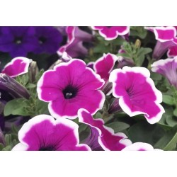 Petunia Famous Lilac Picotee