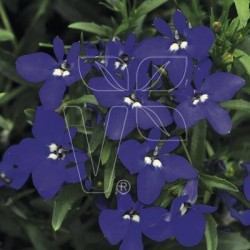 Lobelia erinus Laura Power...