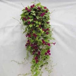 Lofos Lophospermum...