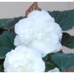 Begonia wielkokwiatowa...