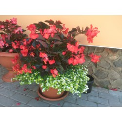 Begonia hybrida Big Red...