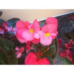 Begonia hybrida Big Rose...