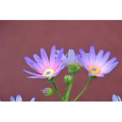 Cyneraria Pericallis...