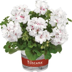 Pelargonia  peltatum Big 5...