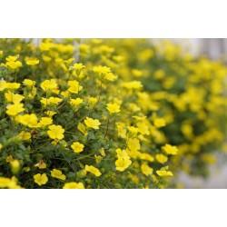 Żółta Bakopa Mecardonia...