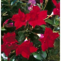 Sundaville Red zwana...