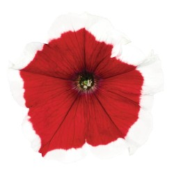 Petunia Collection Picotee Red