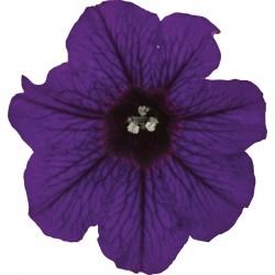 Petunia x hybrida drobna...