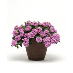 Werbena Verbena Hybrida...
