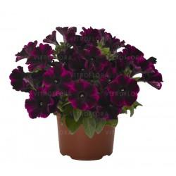 Petunia hybrids Sweetunia...