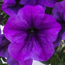 Petunia hybrids Titan Giant...