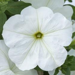 copy of Petunia hybrids...
