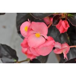 Begonia hyb.Viking Pink on...