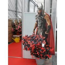 Begonia hyb.Viking XL Red...