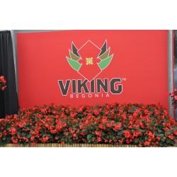 Begonia hybrids Viking XL...