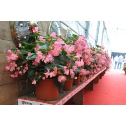 copy of Begonia hybrids...