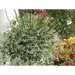 Wilczomlecz Euphorbia...