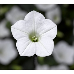 Petunia Hybrida Dekko White...