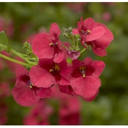 Diascia barberae Flying...
