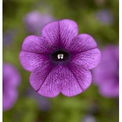 Petunia Hybrida Dekko Deep...