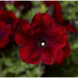 Petunia zwisająca Sanguna...