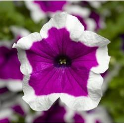 Petunia Hybrida Sanguna...