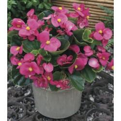 Begonia semperflorens Ascot...