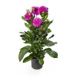 Dahlia x Hybrida LTD...