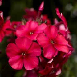 Phlox paniculata LTD Sweet...