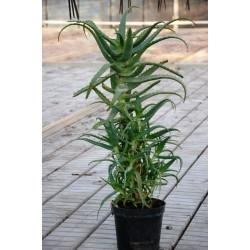 Aloes Drzewiasty  6 -letni