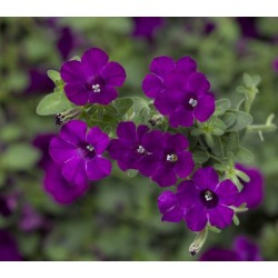 Petunia Hybrida LTD Itsy...