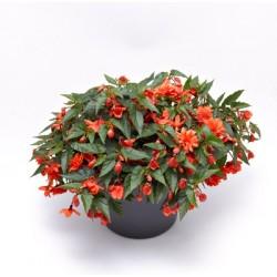 Begonia Hybrida Grace Orange