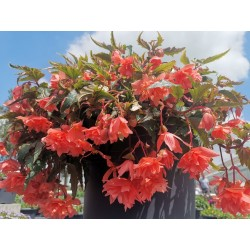 Begonia Hybrida Grace Salmon