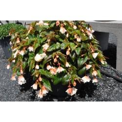 Begonia Hybrida Grace...