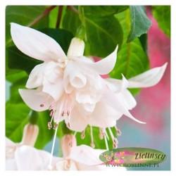 Fuchsia x hybrida Fuksja...