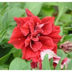 Petunia x atkinsiana...
