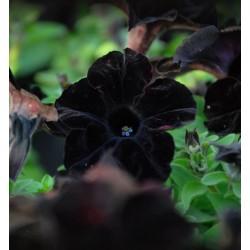 Petunia czarna Crazytunia...